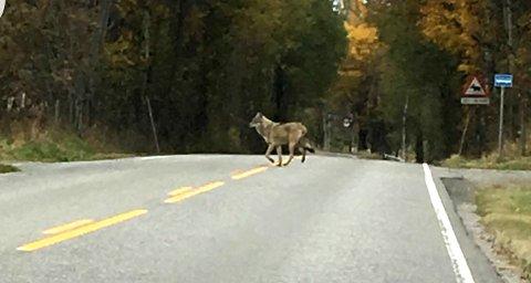 HER ER'N: Det som etter alle solemerker er en ulv ble fotografert på vei over veien i Nannestad torsdag ettermiddag. FOTO: Bjørnar Rottem Johansen