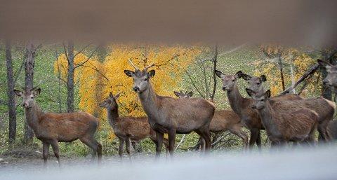 NÆRKONTAKT MED HJORT. I alt 150 hjortedyr er å se på utearealene til Setton Gård i Hov ved Randsfjorden