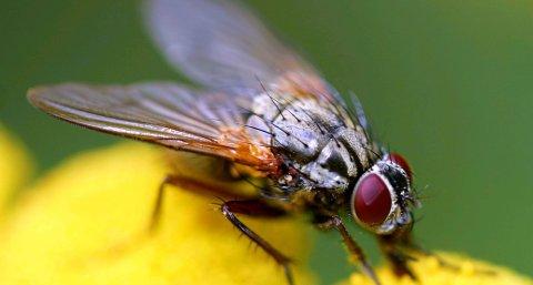 Irriterende: Fluene er ekstra mange og ekstra irriterende i den varmeperioden vi er inne i nå. Fluene søker opp mennesker fordi de er tørste og svette og tårer er godt drikke for flere fluearter.Foto: Hallgeir B. Skjelsta
