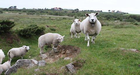 I saueflokken i Tananger var det opprinnelig 34 lam. Nå er det bare 33 igjen.