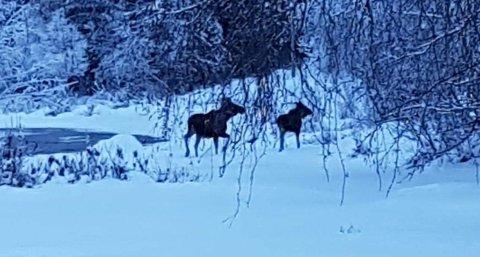 Holdalsfoss: Guro Fossen Schlytter fortalde i fjor vinter om elgkolla som var aggressiv og var ei plage der dei bur ved Fossen Camping i Holdalsfoss. No er elgkølla tilbake saman med ein kalv og er like plagsam denne vinteren.