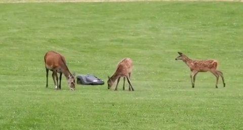 Henning Bøen filma møtet mellom hjort og grasklipper og la det ut på Instagram.
