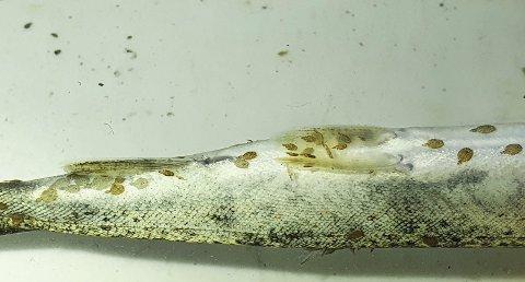 – Konsekvensane vert masse død fisk i elvane, seier Sven-Helge Pedersen, leiar i Hardangerfjord villfisklag.