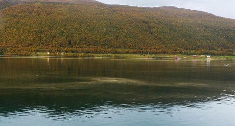 LANGSUNDET: Slik så det ut i Langsundet tirsdag. Griseriet i sundet er altså sporer fra bjørkerust som flyter i vannet. Bjørkerusten er en sopp som angriper bjørka. Foto: Bengt Nielsen