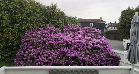 RHODODENDRON: Den store rhododendron-busken til Katrine Skovden Johannessen gis bort på Finn.no, men det er fortsatt ingen som har klart å få den med seg - nettopp fordi den er så stor. Bildet er fra da den blomstret i fjor.