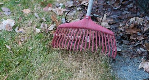 En omgang med plenriva er bra. Det fjerner dødt gress og løv som skygger for vekstpunktene til gresset. (Foto: Erling Fløistad, Nibio/ANB)