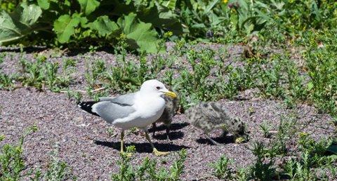 VAKT: Måkemor passer på sine små grå nøster og gjør anskrik hvis noen kommer dem for nær. Foto: Tom Arild Dahl