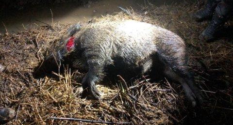 Dette villsvinet ble felt på reveåte i Løten tirsdag. Foto:Privat