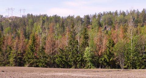 TØRRGRANER: Særlig langs åpne felt i landskapet har granene fått store tørkeskader.
