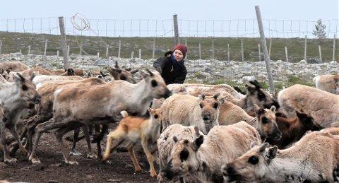 TILBAKE TIL RØTTENE: Hver sommer må den meritterte sørsmiske artisten Marja Mortensson tilbake til røttene i Svahken sïjte i Elgå reindistrikt i Engerdal. Her i arbeid med å fange og merke egne reinkalver.