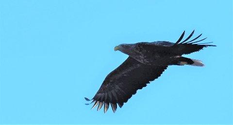 Denne havørnen kretset opp og ned langs Aagaardselva søndag ettermiddag. Øivind Lågbu foreviget ørnen med kameraet.