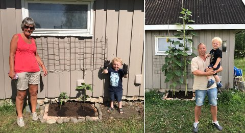 STOR: Til venstre er slik solsikken så ut da den ble plantet i mai, til høyre slik den ser ut i midten av juli. Oscar (3) er strålende fornøyd med hvordan solsikken har vokst.