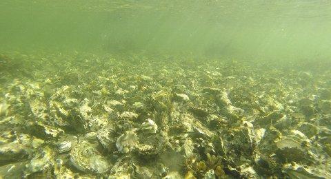 Sprer seg fort: Stillehavsøsters kan produsere over 100 millioner larver. Bildet er fra Hui på Tjøme.