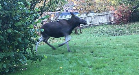 Denne elgen spiste frokost i Vestervei i dag morges.