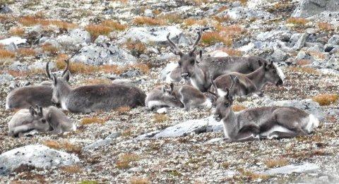 REIN I SNØHETTA: Det blir større jaktkvote i Snøhetta til høsten.