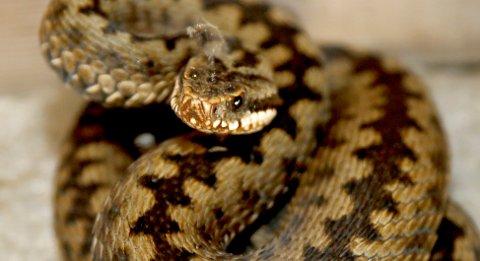 Hoggorm er en av tre ormer i norsk fauna og den eneste giftige slangen.
