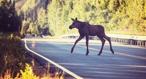 Elgpåkjørsler får ofte store konsekvenser og kan gjøre stor skade på både bil, sjåfør og passasjerer.