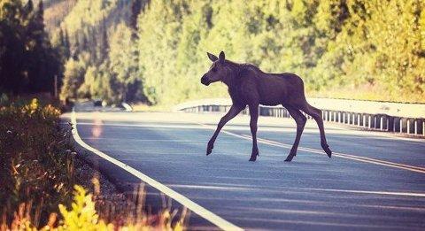 Elgpåkjørsler får ofte store konsekvenser og kan gjøre stor skade på både bil, sjåfør og passasjerer. Foto: NAF/ANB