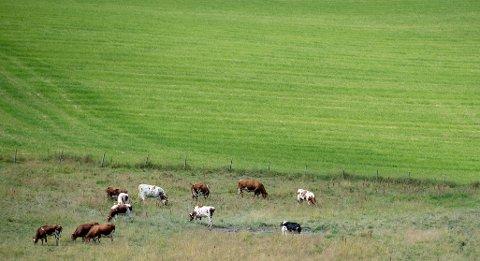 Kyr beiter ved Nedre Ramby på Kløfta i Ullensaker.