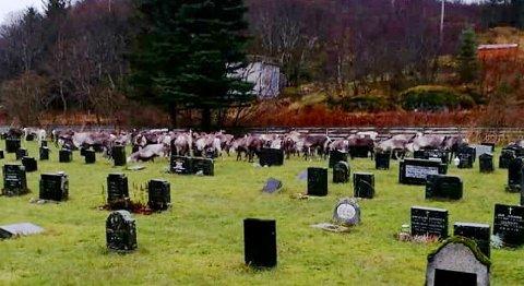 Dette bildet er tatt like før jul. Her har reinsdyrene trukket inn på kirkegården til hovedkirkegården på Rødøya.