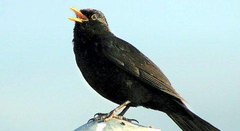 Sangfugl: Det vurderes jakt på svarttrost.