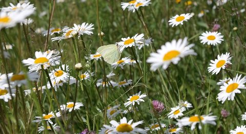 Villblomstrer også for sommerfuglenes skyld.