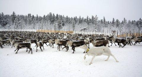 Rein tamrein: Etter måndagens slakting er vinterflokken til Vågå tamreinlag på 2376 dyr.Foto: Ketil Sandviken.