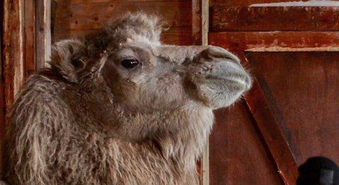 FÅR LEVE: Ingen kan kreve at kamelen Bor i Akkarfjord skal avlives.