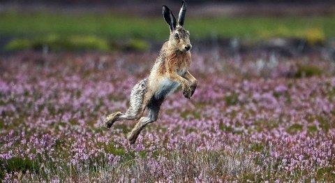 BÆRER SYKDOM: Harepesten har så langt smittet 72 personer i hele Norge.