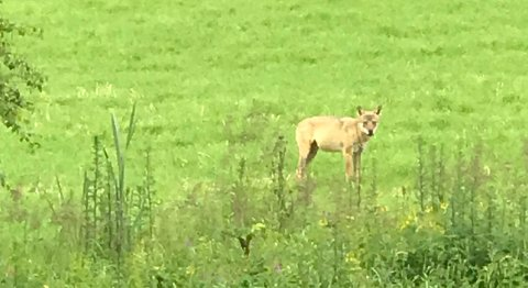 Bildet er litt uskarpt, men er mest sannsynligvis en ulv. Bildet ble tatt søndag morgen langs Lyserenveien.