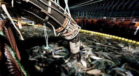 Havbruk og sjømateksport er langt mer enn merder og oppdrettsanlegg. Bildet viser fisk på første delen av reisen som i dette tilfellet etter hvert bringer mat på bord i Japan. ARKIVFOTO: SKJALG EKELAND