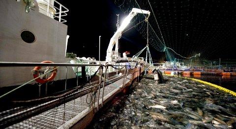 Lakseprisen har vært en gullgruve for oppdrettsselskapene. Både Marine Harvest, Lerøy Seafood Group og Greig Seafood melder om rekorder. FOTO: SKJALG EKELAND