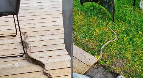 Til venstre er kongepytonslangen som Martin og Malin fikk øye på på verandaen. Til høyre er kornsnoken som dukket opp hos naboen deres ett år etter.