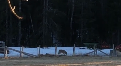 ULV: Ulven er observert flere steder i distriktet de siste ukene.