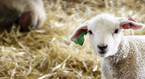 TRENG STELL: Dyr treng pass, også når bonden må ha fri. Da kjem avløysaren. (Arkivfoto)