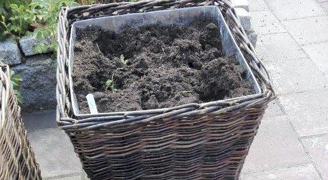 TOMT: I disse pottene var det ikke lenger noen urter å se.