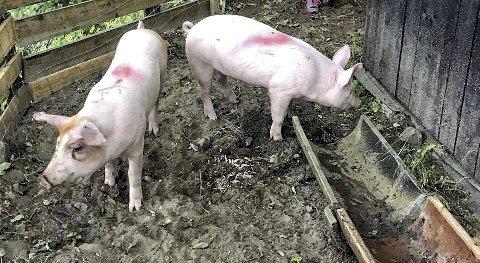 HAR DET BEDRE: Gårdbrukeren i Holmestrand kommune har bedret sitt dyrehold etter det som skjedde under tilsynet i 2018. Illustrasjonsfoto: Lars Ivar Hordnes