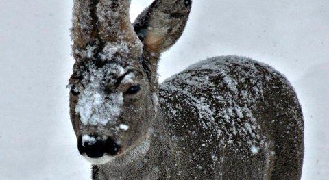 TRENGER MAT: Snørike vintere gir rådyra problemer med å bevege seg og finne mat.
