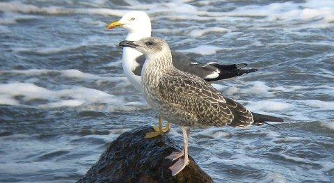 Skal merkes: Dette er en voksen sildemåke og ungfugl. Det er måkeunger som nå skal merkes.