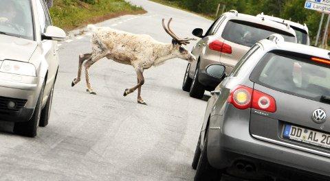 PASS OPP: Det er mye tamrein i trafikken i Sjodalen.