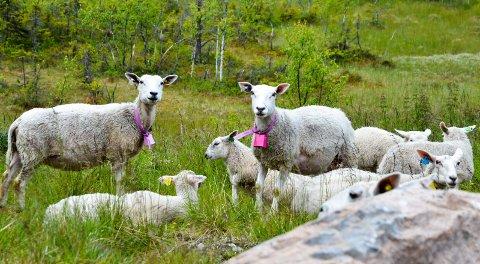 BEITER: Verdien av utmarka som beiteressurs i Oppland er beregnet til 143 millioner kroner.