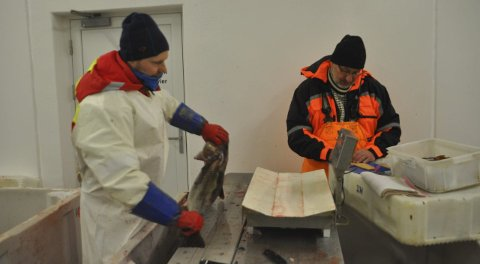 FORSKERE: Ved å undersøke øresteinene på torsken kunne Stian Kleven og Kjell Gamst fra Havforskningsinstituttet fastslå at 25 prosent av torsken tatt på Yttersia var skrei. Foto: Kai Nikolaisen