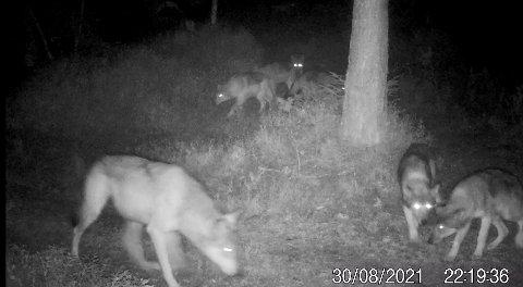 Rømskogflokken: 8 ulv fra Rømskogflokken, ble filmet av et viltkamera satt opp i Marker tidligere i høst.
