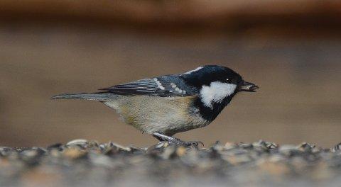Svartmeisen er en vanlig gjest på fuglebrett i Valdres. Den er lett å kjenne på den hvite flekken i nakken.