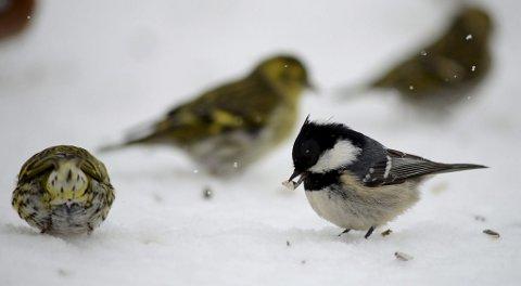 Svartmeis og grønnsisiker: Svartmeisen er en av de mer fåtallige meisene under Hagefugltellingene. Den er vanligst der det er skog i nærheten.