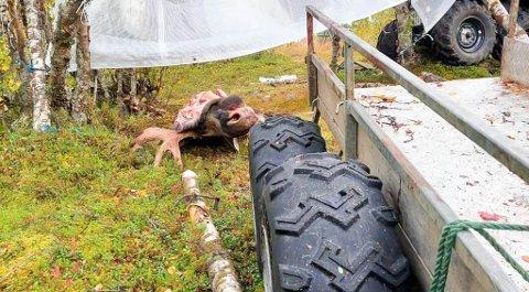 Bildene av elgen er illustrasjonsfoto tatt av Einar J. Asbjørnsen, leder for utmark i FeFo da han selv var på jakt i helgen