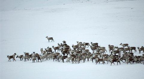 VILLREIN: Hardangervidda nasjonalpark med vinterbeite for villrein . Dyret som er tilpasset livet i høyfjellet både sommer og vinter står ovenfor en formidabel utfordring nå som Skrantesjuken er funnet i fjellet.  Foto: © Ove Bergersen / NN / Samfoto