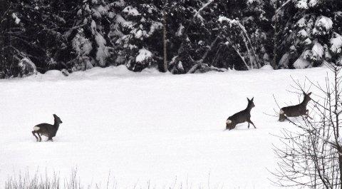 RÅDYR: Vedtaket om umiddelbar båndtvang er fattet for å beskytte viltet som følge av store snømengder.