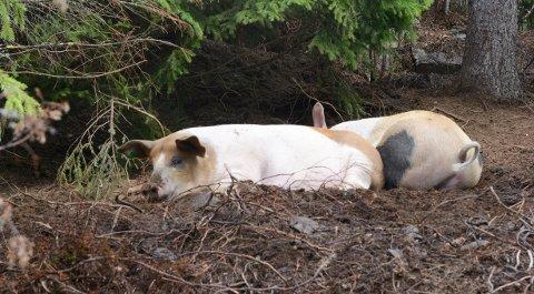 GOD DYREVELFERD: Vi vet om flere steder i Nittedal der griser har det bra, slo Anne Hilde Røsvik fast i kommunestyret. Men i andre kommuner er det ikke like bra.