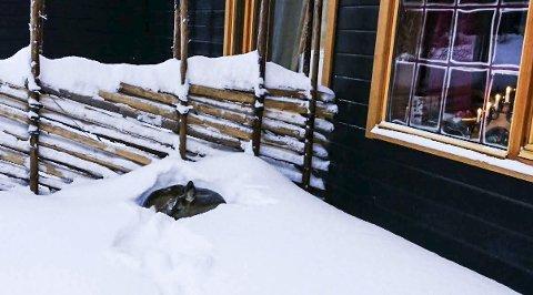 KLARTE IKKE MERE: Her i den myke snøen, tett inntil Gjøsvika Sykehjen fant det lille rådyret sin siste seng. Og innafor vinduet lyste adventlysestaken. Foto: Kristoffer Koiedal.